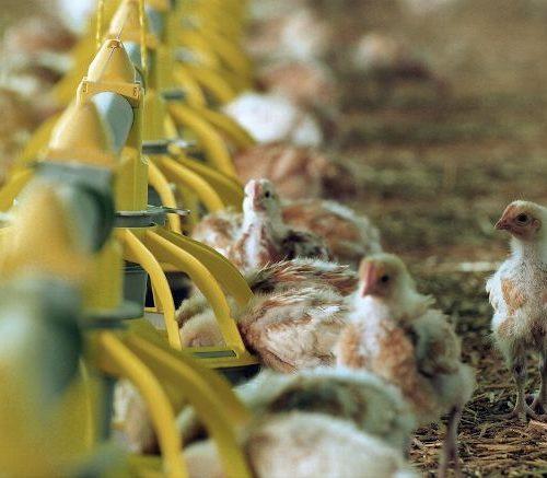 agriculture-elevage-de-poulets-bio-pour-le-groupe-duc-sylvai_3509836