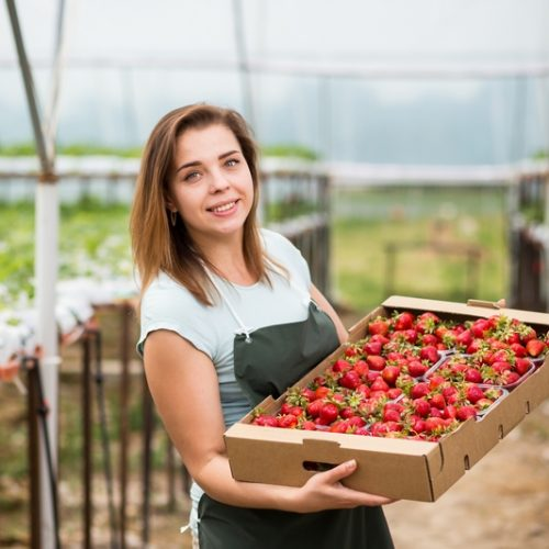 Strawberry growers with harvest,Agricultural engineer working in the greenhouse.Female greenhouse worker with box of strawberries,woman picking berrying on farm,strawberry crop concept