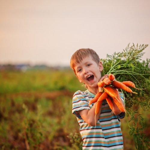 Cute little kid boy picking carrots in domestic garden on the sunset.